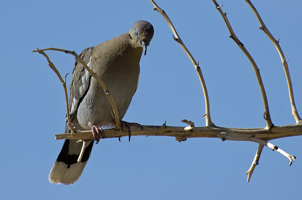 Weißflügeltaub (Arizona, Mai 2009)