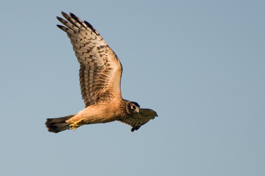 Junge Hudsonweihe (Florida, Oktober 2010)
