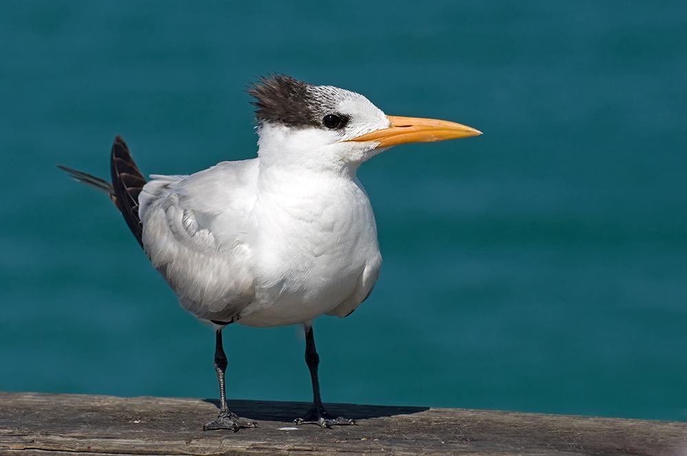 Königsseeschwalbe (Florida, Februar 2013)