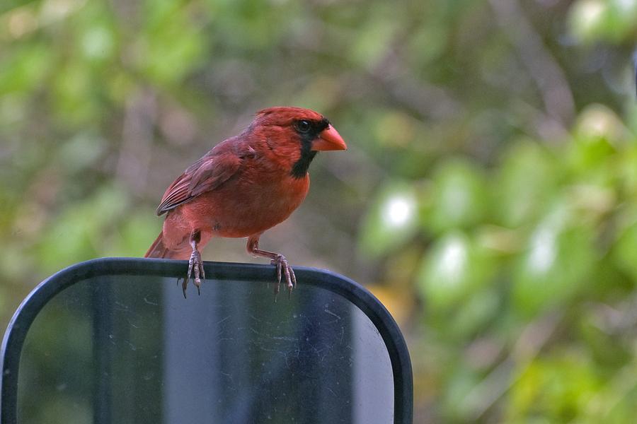 Roter Kardinal ♂ (Texas, April 2009)