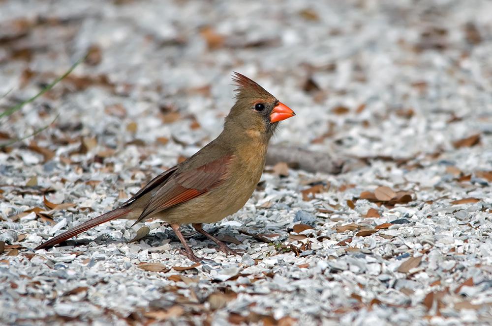 Roter Kardinal ♀ (Florida, März 2014)