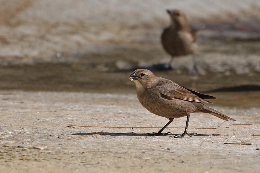 Braunkopf-Kuhstärling ♀ (Florida, April 2009)