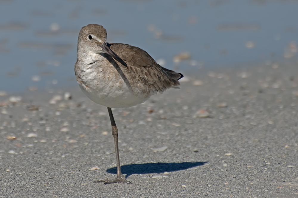 Schlammtreter (Florida, Januar 2012)