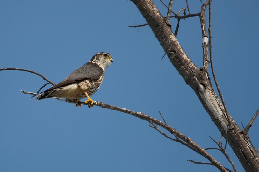 Merlin (Florida, März 2013)