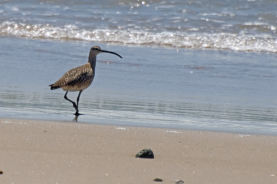 Regenbrachvogel (Kalifornien, Mai 2011)