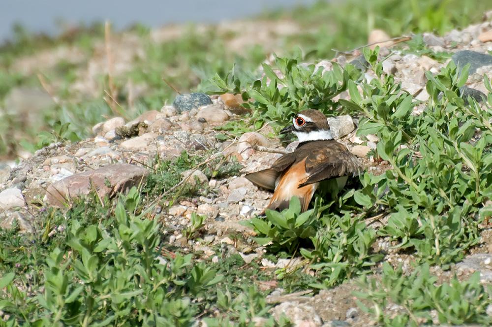 Keilschwanzregenpfeifer (Wyoming, Mai 2011)
