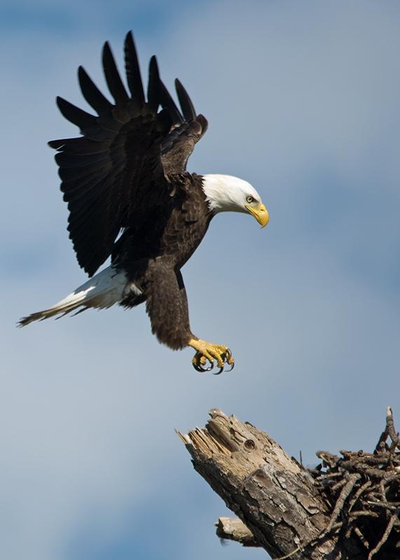 Weißkopfseeadler - Bald Eagle (Haliaeetus leucocephalus)