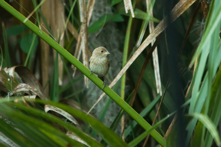 Indigofink ♀ (Florida, März 2012)