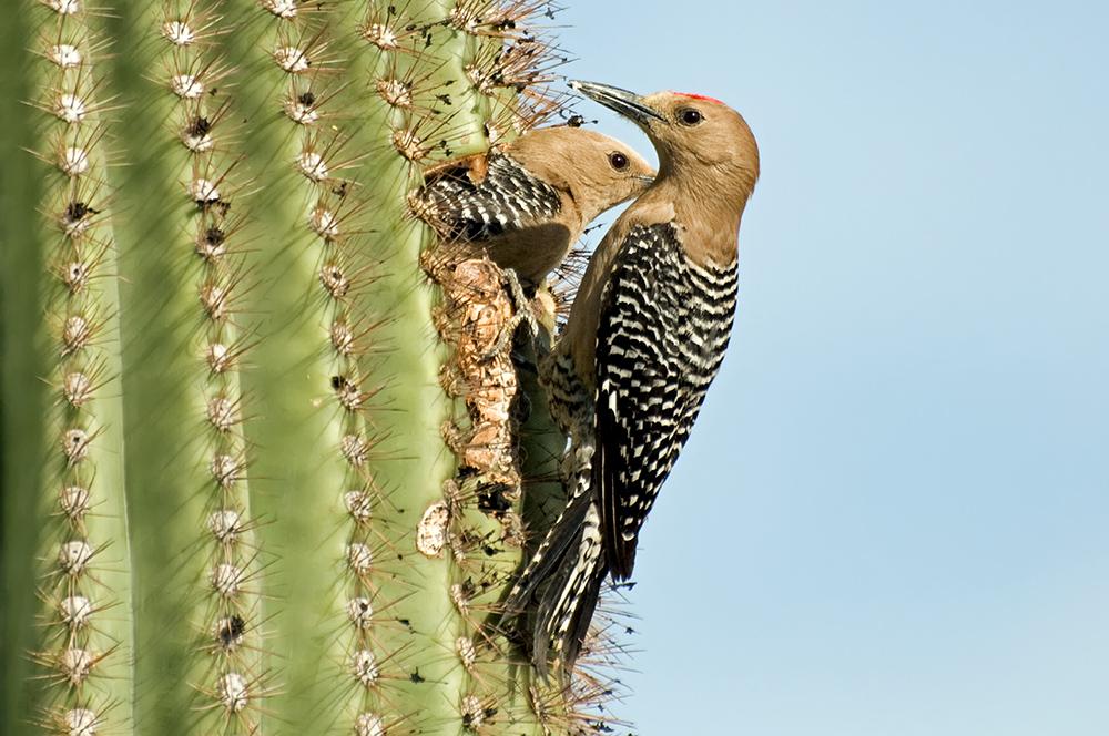 Gilaspechte (Arizona, Mai 2011)