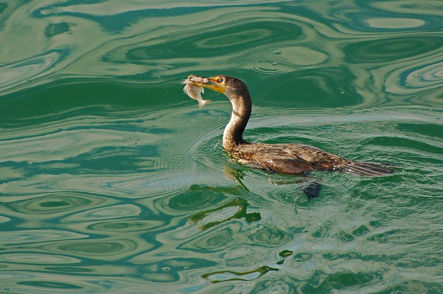 Ohrenscharbe (Florida, Januar 2007)