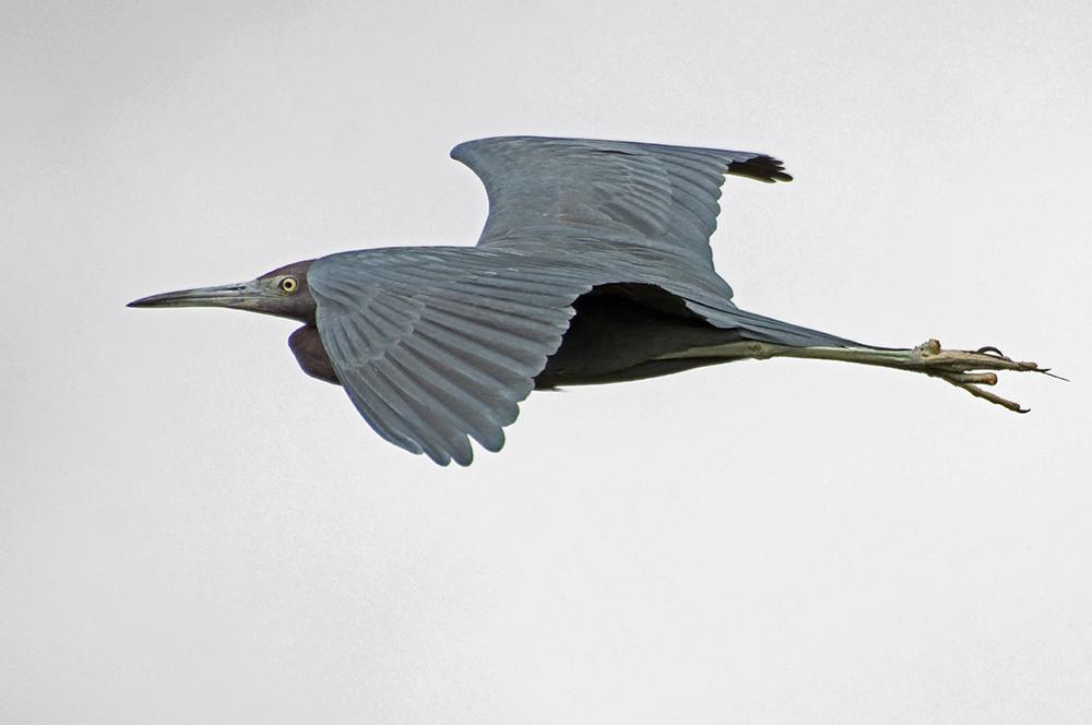 Blaureiher (Florida, Februar 2012)