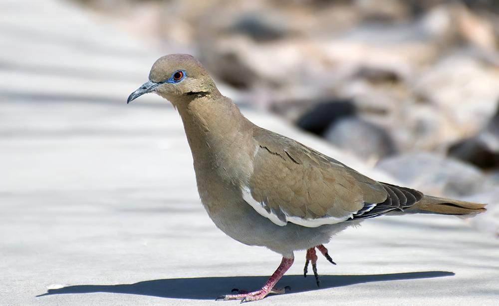 Weißflügeltaube (New Mexico, Mai 2011)