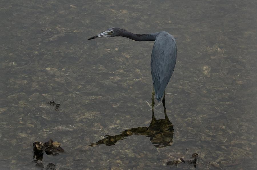 Blaureiher (Florida, Oktober 2007)