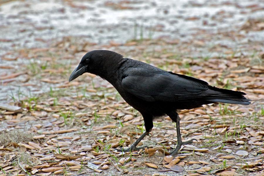 Amerikanerkrähe (Florida, März 2010)