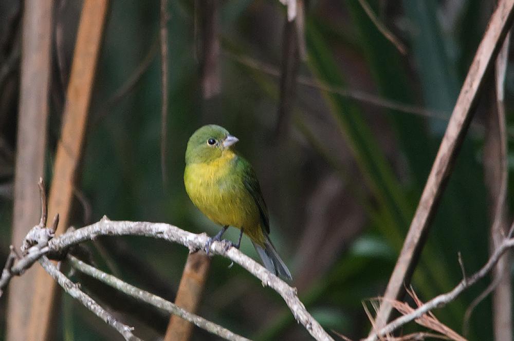 Papstfink ♀ (Florida, März 2013)