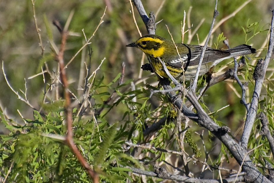 Townsend-Waldsänger (New Mexico, Mai 2009)