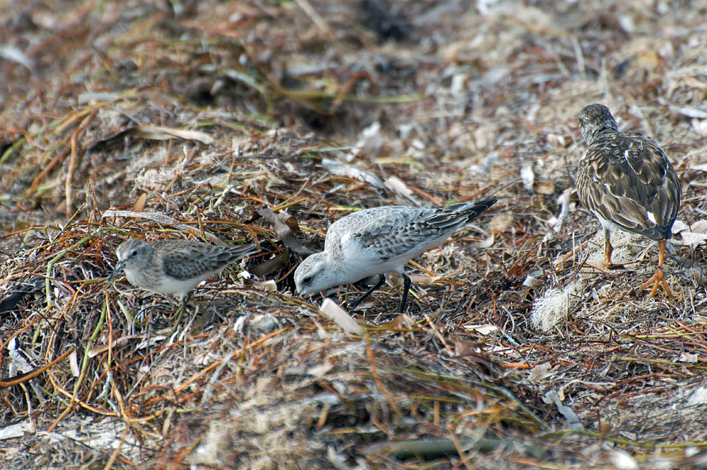 Von li.: Wiesenstrandläufer, Sanderling, Steinwälzer (Florida, November 2010)