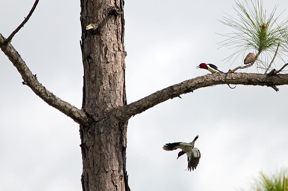 Rotkopfspechte (Florida, Dezember 2012)