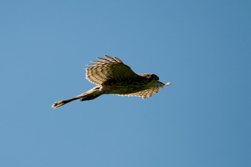 Junger Eckschwanzsperber (Florida, März 2014)