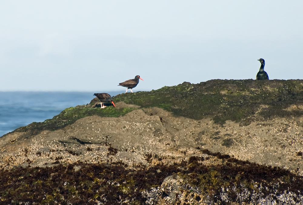 Klippen-Austernfischer und Pinselscharbe (Kalifornien, Mai 2011)