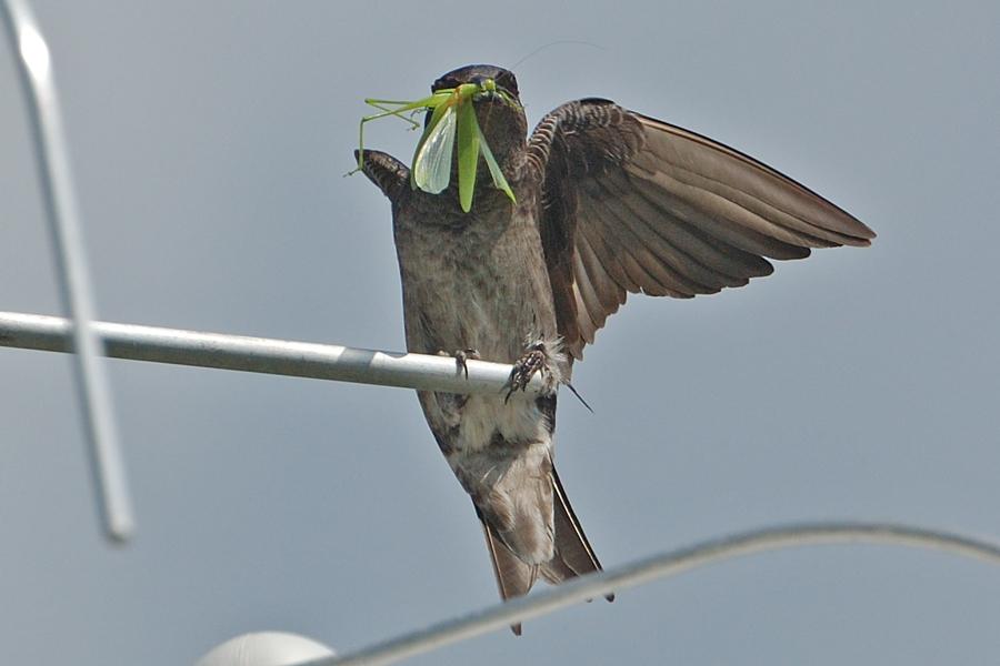 Purpurschwalbe, ♀ (Florida, Februar 2012)