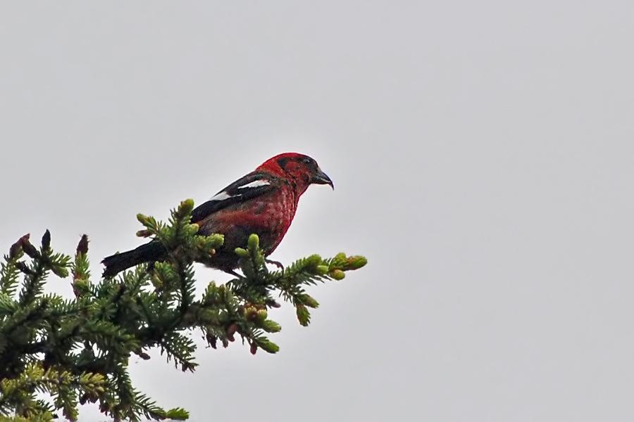 Bindenkreuzschnabel ♂ (Alaska, Juli 2008)