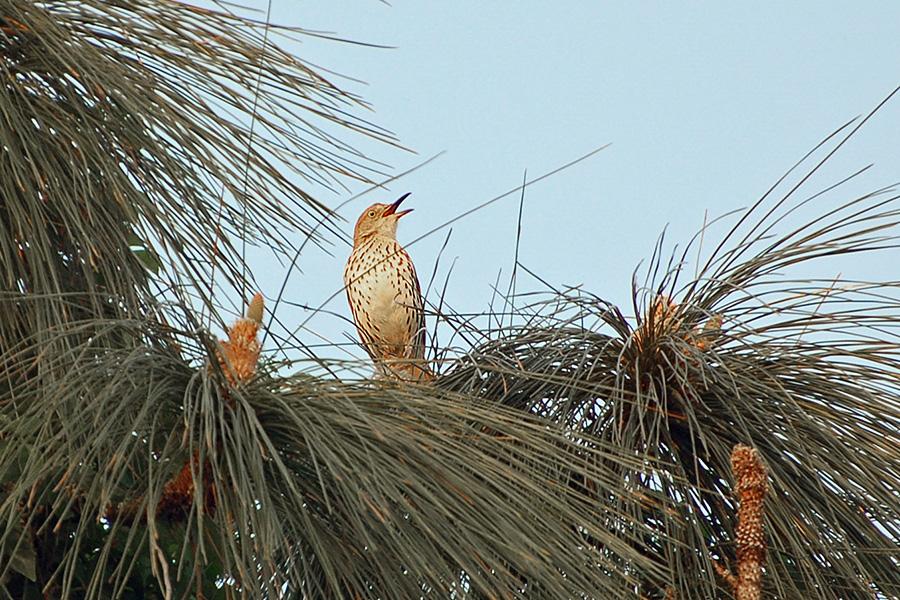 Rotrücken-Spottdrossel (Florida, April 2007)