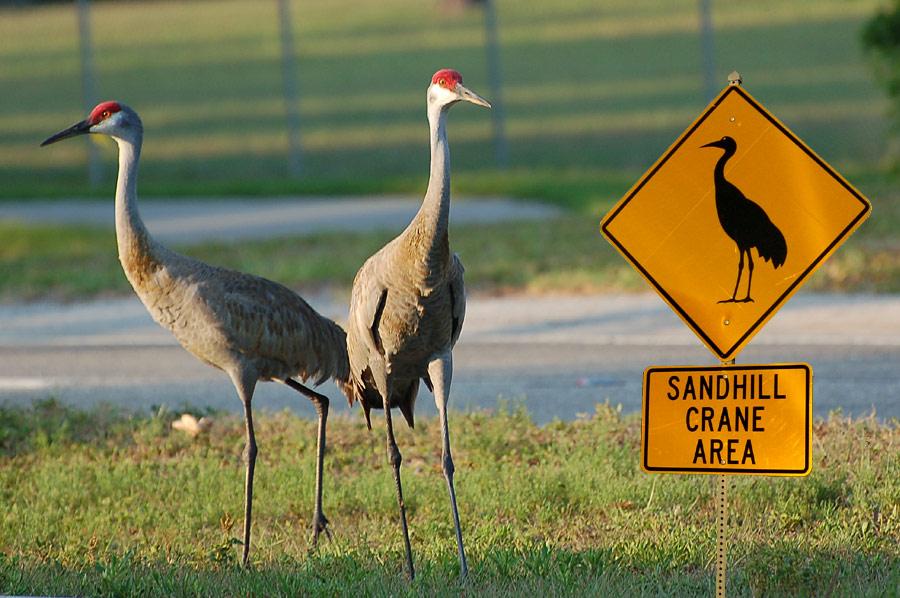 Kanadakraniche (Florida, Mai 2007)