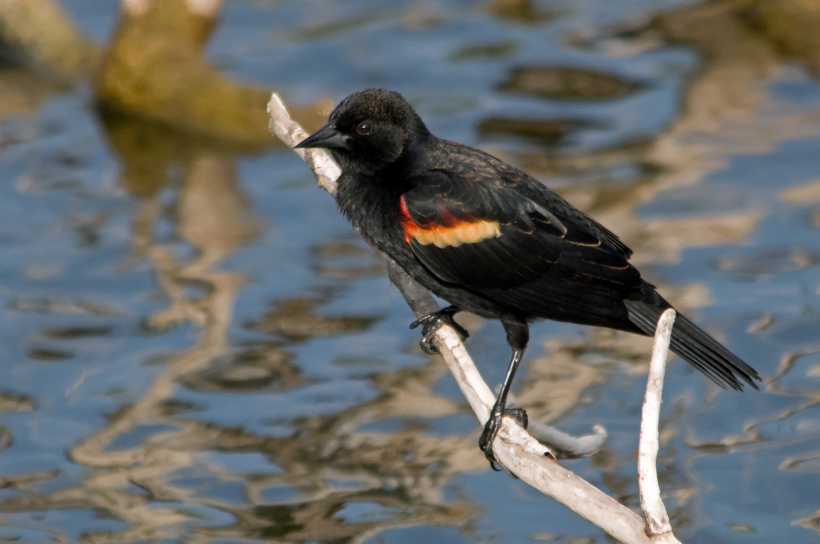 Rotschulterstärling ♂ (Florida, März 2012)
