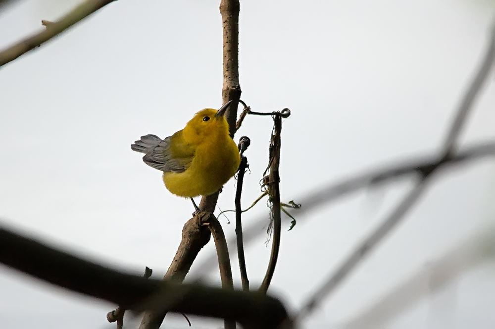 Zitronenwaldsänger (Florida, März 2014)
