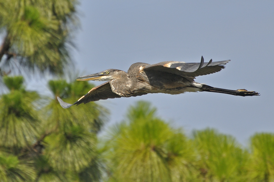 Kanadareiher (Florida, Juni 2009)