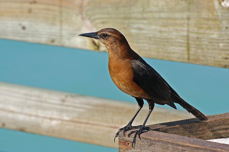 Bootschwanzgrackel ♀ (Florida, Januar 2008)