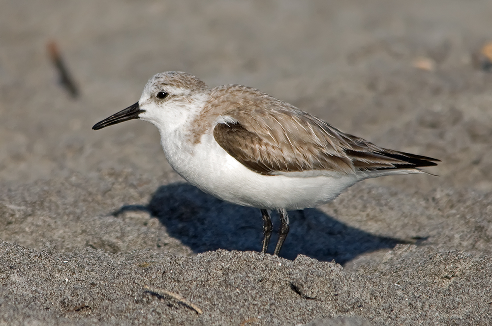 Sanderling (Florida, März 2012)