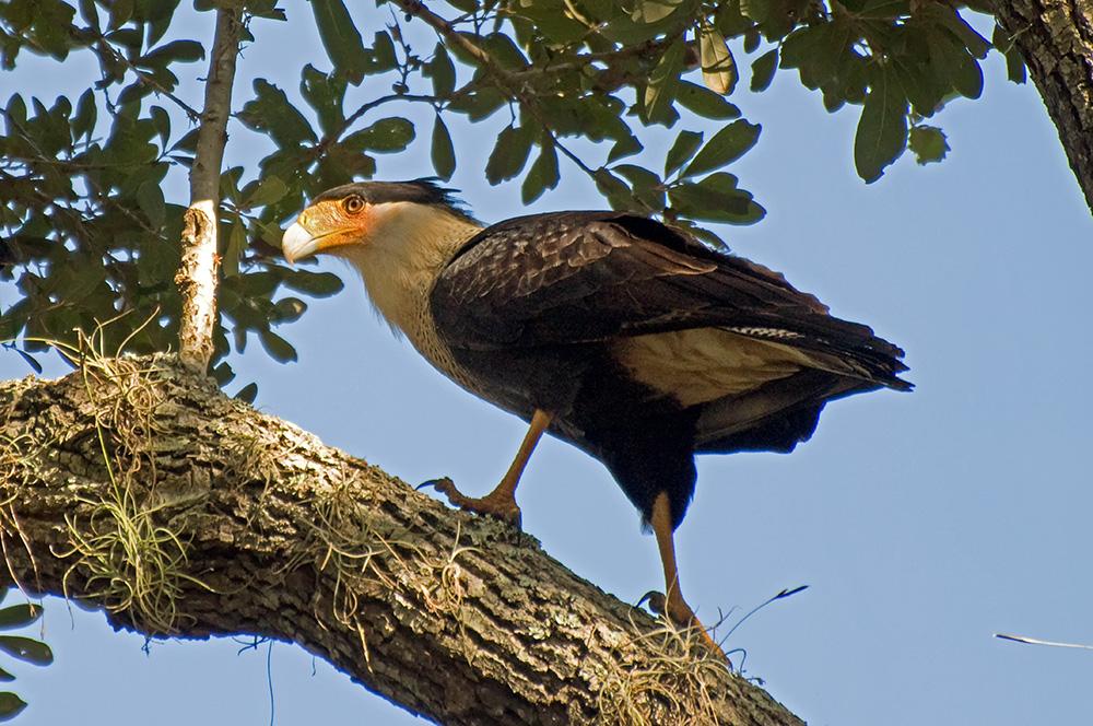 Karibikkarakara (Florida, Oktober 2010)