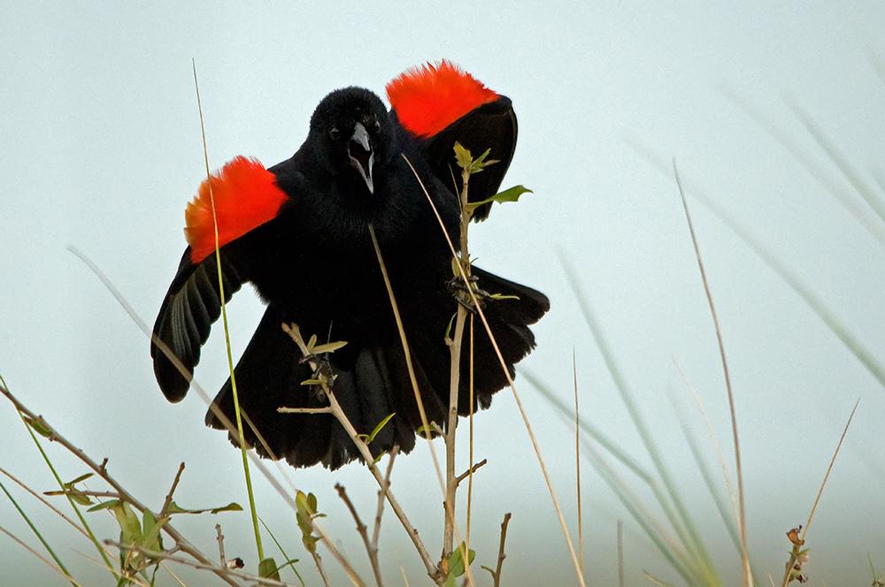 Rotschulterstärling ♂ (Florida, Februar 2013)