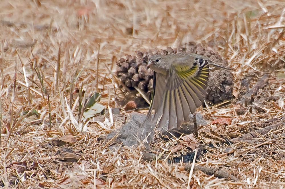 Maskenzeisig ♀ (Kalifornien, Mai 2011)
