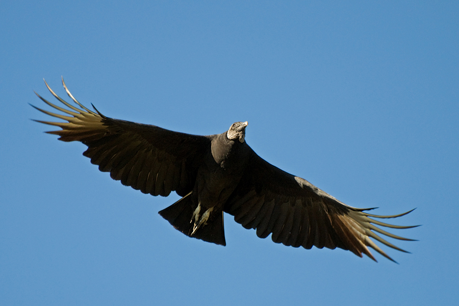 Schwarzer Geier (Florida, Oktober 2010)