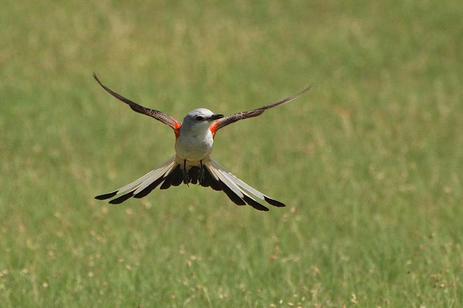 Scherenschwanz-Königstyrann - Scissor-tailed Flycatcher (Tyrannus forficatus)