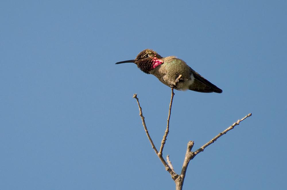 Annakolibri (Kalifornien, Mai 2011)
