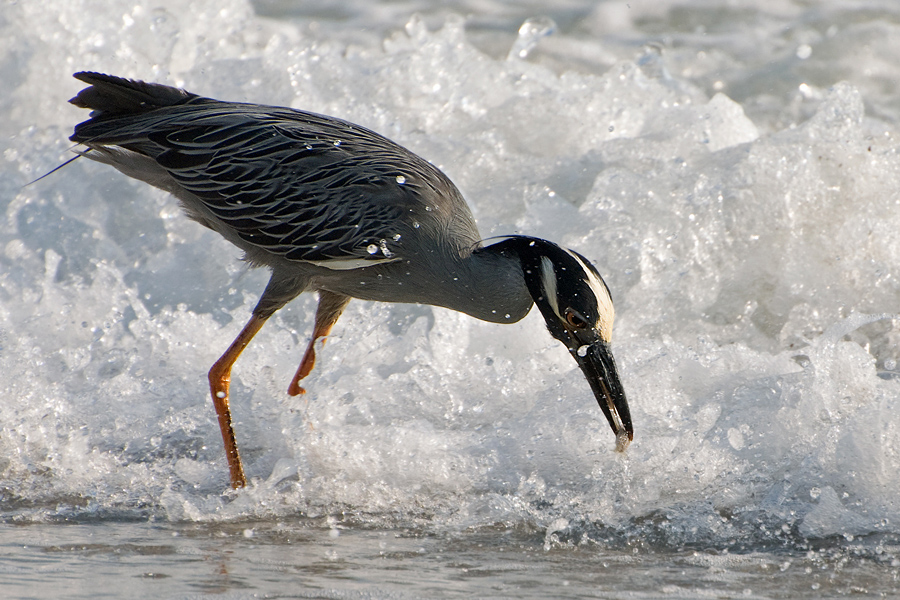 Krabbenreiher (Florida, Mai 2010)