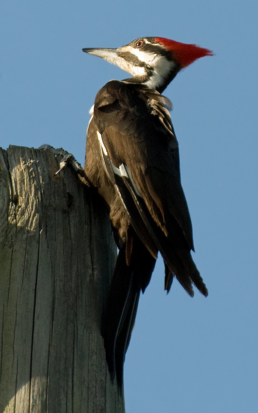 Helmspecht ♀ (Florida, Februar 2013)