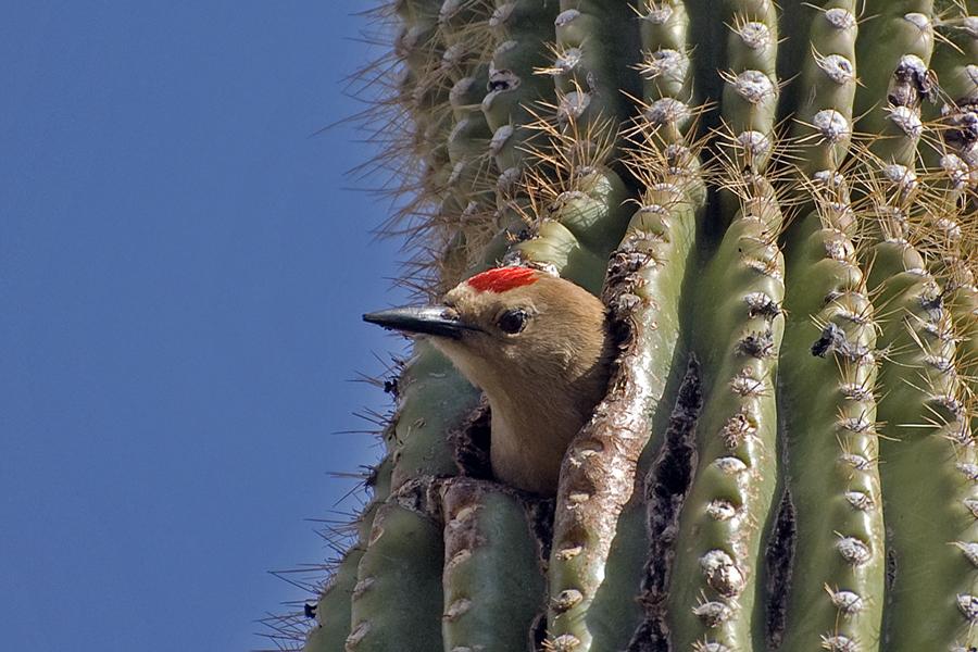 Gilaspecht ♂ (Arizona, Mai 2009)