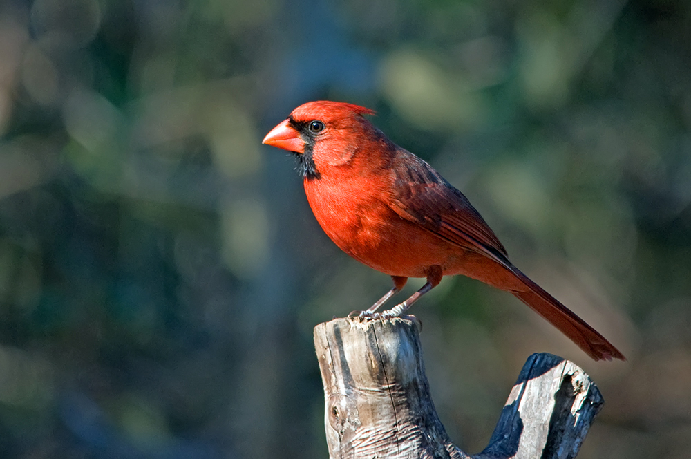 Roter Kardinal ♂ (Florida, Januar 2013)