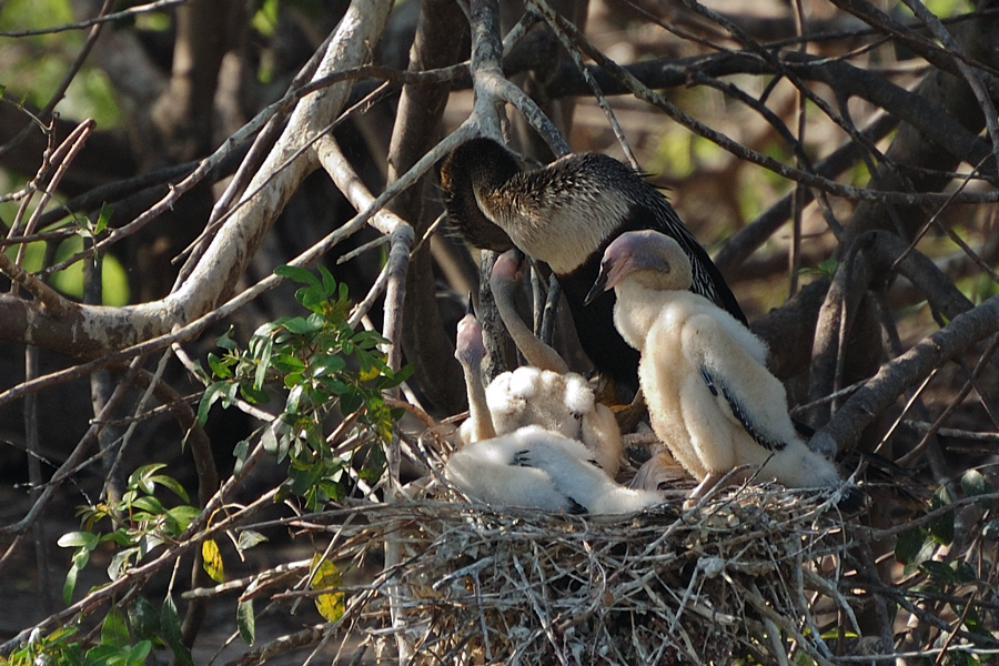 Schlangenhalsvögel (Florida, April 2009)
