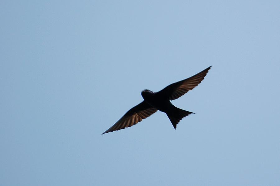 Purpurschwalbe (Florida, Februar 2012)