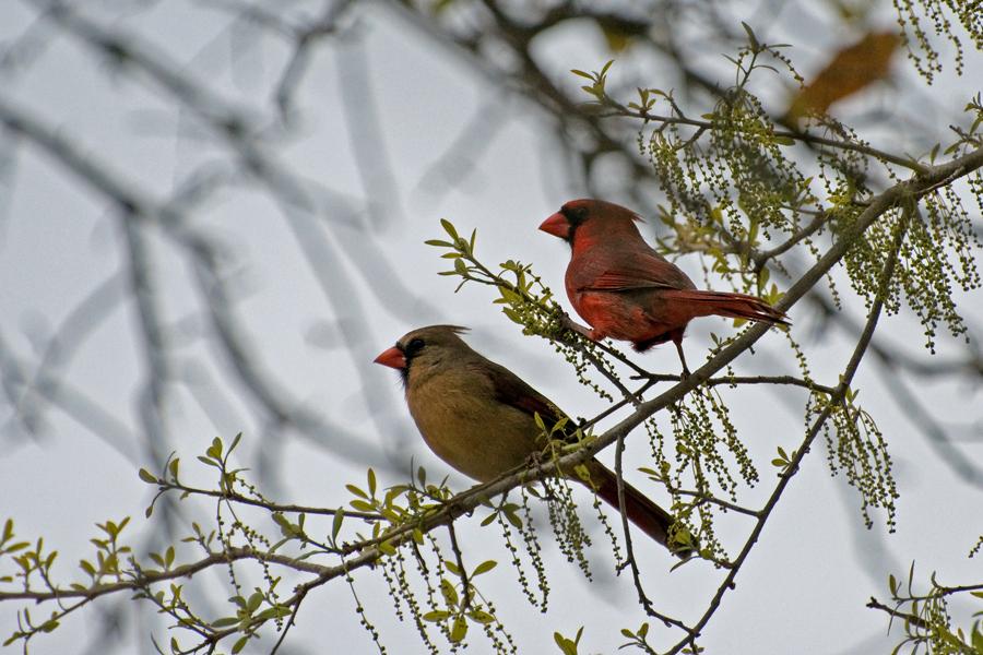 Roter Kardinal (Florida,  März 2010)