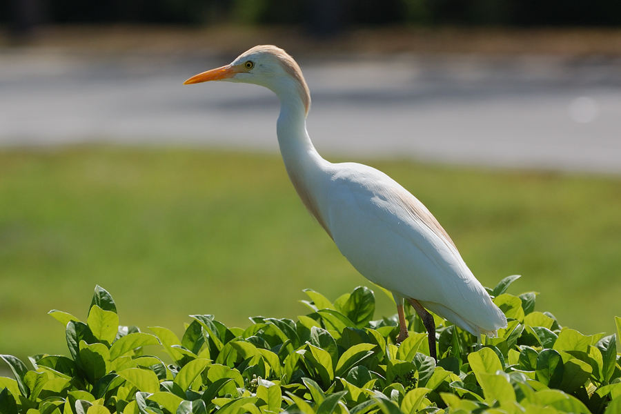 Kuhreiher (Florida, März 2009)