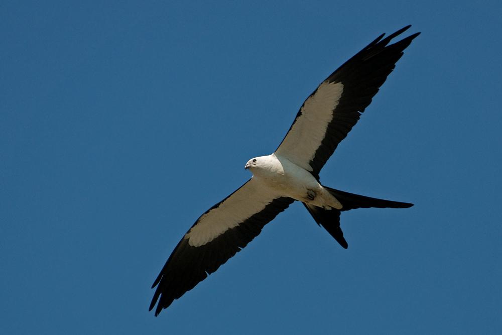 Schwalbenweih - Swallow-tailed Kite (Elanoides forficatus forficatus)