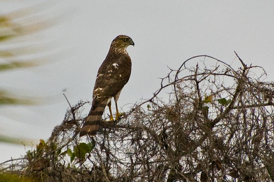 Eckschwanzsperber (Florida, Oktober 2007)