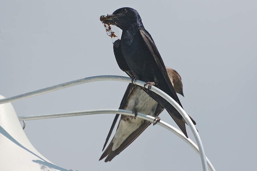 Purpurschwalbe, ♂ (Florida, Februar 2012)